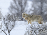 Coyote in Snow Photographic Print by  Galloimages Online