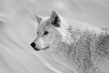 White Wolf BW Photographic Print by Gordon Semmens