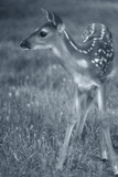 Fawn 3 Photographic Print by Gordon Semmens