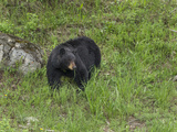 Black Bear (YNP) Photographic Print by  Galloimages Online