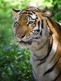 Tiger Photographic Print by Gordon Semmens