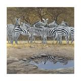 Zebras Giclee Print by Harro Maass