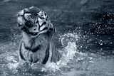 Tiger Splash Photographic Print by Gordon Semmens