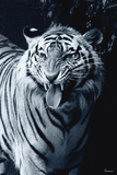 White Tiger 2 Photographic Print by Gordon Semmens