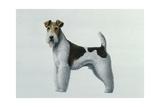 Fox Terrier Giclee Print by Harro Maass