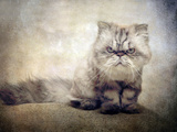 Cranky Cat Photographic Print by Jessica Jenney