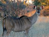 Kudu Photographic Print by J.D. Mcfarlan
