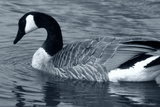S Goose Photographic Print by Gordon Semmens
