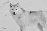 White Wolf 3 Photographic Print by Gordon Semmens