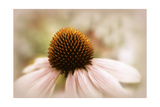 Echinacea Giclee Print by Jessica Jenney