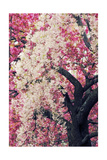 Asian Cherry Giclee Print by Jessica Jenney