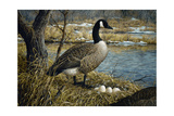 Canadian Goose Giclee Print by Jeff Tift