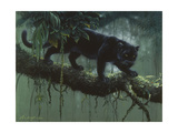 Black Jaguar Giclee Print by Harro Maass
