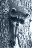 Raccoon 3 Photographic Print by Gordon Semmens