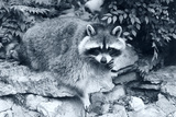 Raccoon 2 Photographic Print by Gordon Semmens