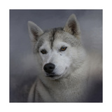 Siberian Husky Giclee Print by Jai Johnson