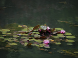 Water Lillies Photographic Print by J.D. Mcfarlan