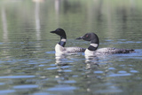 Common Loon 5 Photographic Print by Gordon Semmens