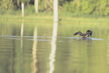 Common Loon 8 Photographic Print by Gordon Semmens