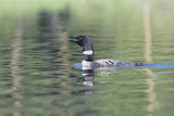 Common Loon 6 Photographic Print by Gordon Semmens