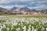 Cotton Grass Photographic Print by Michael Blanchette