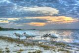 Ibis at Sunrise Photographic Print by Robert Goldwitz