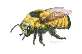 Bumble Bee Giclee Print by Tim Knepp