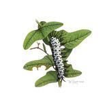 Zebra Caterpillar Giclee Print by Tim Knepp