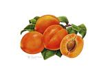 Peaches Giclee Print by Tim Knepp