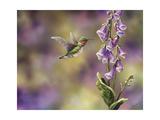 Spring Hummingbird Giclee Print by Sarah Davis