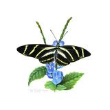 Zebra Butterfly Giclee Print by Tim Knepp