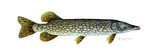 Northern Pike Giclee Print by Tim Knepp