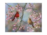 Spring Cardinals Giclee Print by Sarah Davis