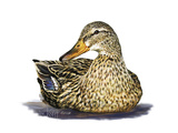 Mallard Duck Giclee Print by Tim Knepp