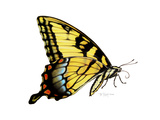 Tiger Swallowtail Butterfly Giclee Print by Tim Knepp