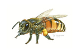 Honey Bee Giclee Print by Tim Knepp