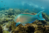 Blue-Chin Parrotfish (Scarus Ghobban), Galapagos Islands, Ecuador Photographic Print by Pete Oxford