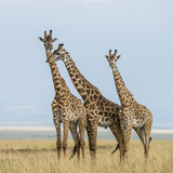 Kenya, Maasai Mara, Mara Triangle, Mara River Basin, Maasai Giraffe Photographic Print by Alison Jones