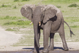 Single Female Elephant Standing on Pond Edge, Wet from Bathing Photographic Print by James Heupel