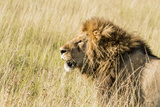 Kenya, Maasai Mara, Mara Triangle, Mara River Basin, Lion in the Grass Photographic Print by Alison Jones