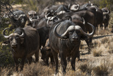 Buffalo, Private Game Ranch, Great Karoo, South Africa Photographic Print by Pete Oxford