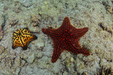 Chocolate Chip Starfish and Panamic Cushion Star, Galapagos, Ecuador Photographic Print by Pete Oxford