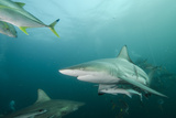 Oceanic Black-Tip Shark and Remora, KwaZulu-Natal, South Africa Photographic Print by Pete Oxford
