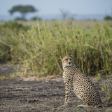 East Kenya, Amboseli National Park, Female Cheetah Photographic Print by Alison Jones