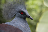 Singapore, Jurong Bird Park. Head Detail of Common Crowned Pigeon Photographic Print by Cindy Miller Hopkins