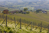 Vineyard Near Barolo, Piedmont, Italy Photographic Print by Peter Adams
