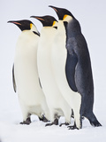 Snow Hill, Antarctica. Three Emperor Penguins Standing Tall Photographic Print by Janet Muir