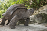 Seychelles, St. Anne Marine NP, Moyenne Island. Giant Aldabra Tortoise Photographic Print by Cindy Miller Hopkins