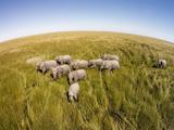 Botswana, Chobe NP, Elephants Walking Savuti Marsh's in Okavango Delta Photographic Print by Paul Souders