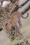 Leopard Trying to Descending Tree Trunk, Paws Spread Out for Balance Photographic Print by James Heupel